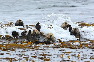 Surf's Up! Sea Otter Wipe Out