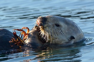 Crab Dinner for Sea Otter