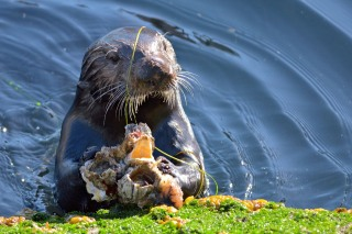 Sea Otter Eats Barnacles