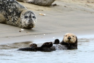 Sea Otter and Harbo Seals
