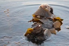 Sea Otter Tied Up in Kelp