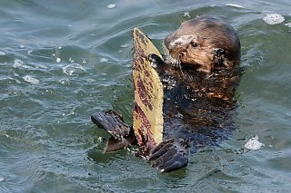 Sea Otter Pup with Marine Pollution