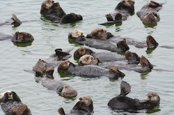Sea otters resting in a group on a cloudy day