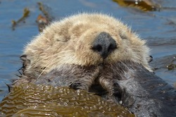 Sea Otter Sleeps with Paws in Mouth