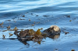 Sea Otters Sleeps in Kelp