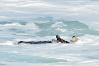Sea Otter in Sea Foam