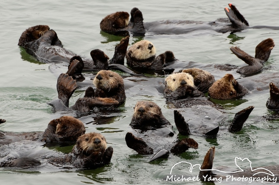 California Sea Otters Resting in a Raft Wake Up
