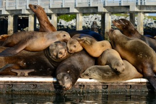 Moss Landing Sea Lions on Crowded Pier