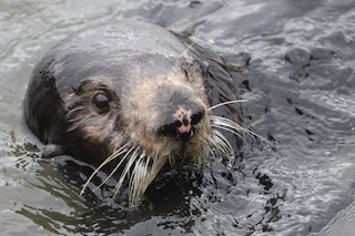Close up of Sea Otter