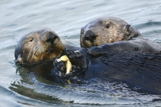 Male sea otter steals food from female otter