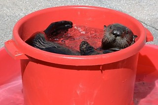Monterey Bay Aquarium Sea Otters - Sea otter in bucket