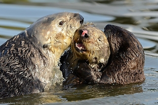 Pup Interrupts Sea Otters Mating