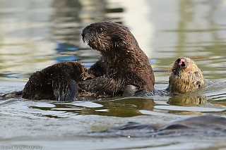 Big Sea Otter Pup Ready to be Weaned
