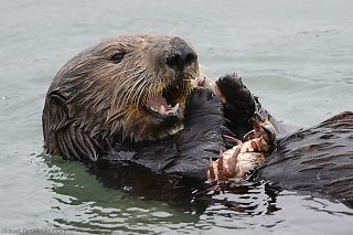 Sea Otter Lunching on Crabs