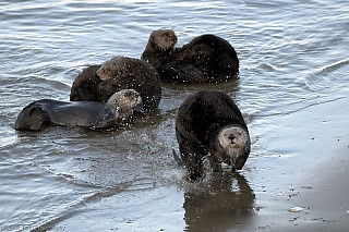 Sea Otters at Shore's Edge