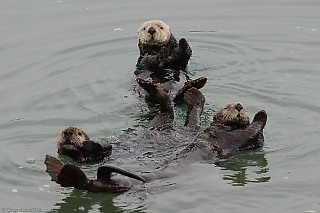 Sea Otters Dancing