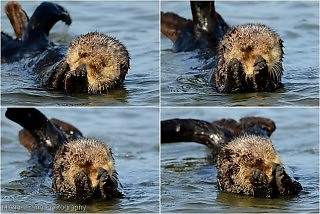 Sea Otter Photo Sequences
