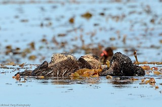 Sea Otters Resting in Kelp