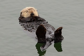 Sea Otters Relaxing