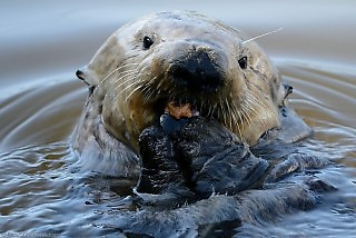 Sea Otter Eating Mussels