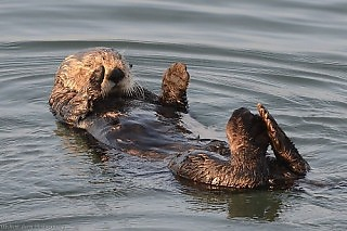 Sea Otters at Sunset