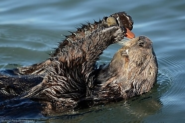 Sea Otter and His Pebbles
